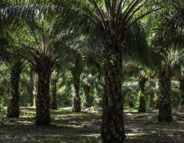 Palma de aceite, la plantación que deja estéril al sureste mexicano