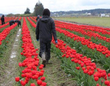 Jornaleros de la montaña: hacer música desde los campos de tulipanes