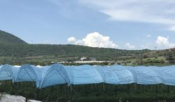 Invernaderos en Jocotepec: el fruto…