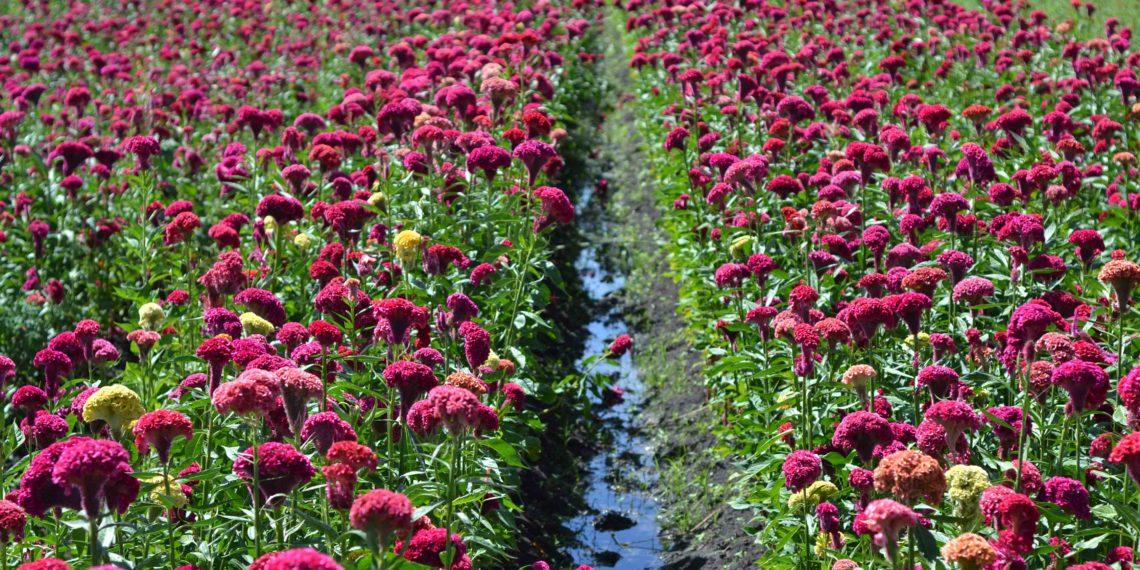 Decae la siembra de flores de muertos en Tixtla, Guerrero