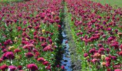 Decae la siembra de flores…