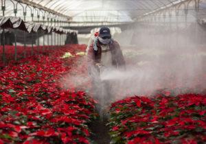 Nochebuena, la flor mexicana que Estados Unidos hipertecnificó
