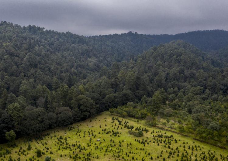 Para reforestar el Izta-Popo, hay que cortar pinos de Navidad