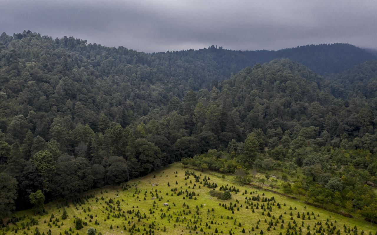 Vista aérea de una plantación de pinos en contraste con la vegetación natural del bosque en Amecameca, Estado de México. foto Duilio Rodríguez