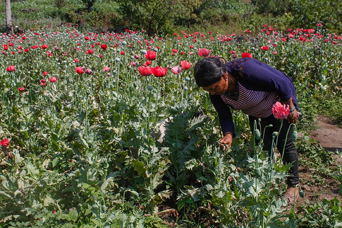 Mujer de la Montaña de Guerrero. Busca entre la siembra de amapola salir de la pobreza. En resistencia frente al hambre.